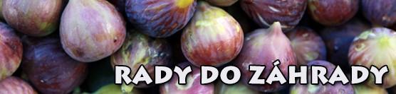 Výsadba a rez figovníka