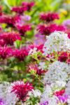 trvalky záhrada kvety