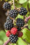 černice blackberry drobné ovocie