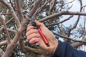 vrúbľovanie vrúble nožnice scissors pruning tree